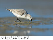 Sanderling (Calidris alba) in winter plumage foraging on the Altamaha Estuary. Glynn County, Georgia. October. Стоковое фото, фотограф Gerrit Vyn / Nature Picture Library / Фотобанк Лори