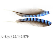 Купить «Feather of Eurasian jay (Garrulus glandarius) on white background. Niedersechsische Elbtalaue Biosphere Reserve, Elbe Valley, Lower Saxony, Germany», фото № 25146879, снято 16 февраля 2020 г. (c) Nature Picture Library / Фотобанк Лори