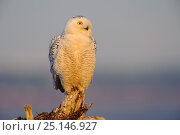 Snowy owl (Bubo scandiacus) during increase in numbers and range of snowy owl. Boundary Bay, Canada. March. Стоковое фото, фотограф Gerrit Vyn / Nature Picture Library / Фотобанк Лори