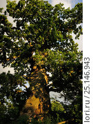 Купить «Kattholzeiche oak tree, a Pedunculate oak tree (Quercus pedunculata) the oak with largest trunk circumference (12.85m) in Germany. Plon, Schleswig-Holstein, Germany. August 2013.», фото № 25146943, снято 16 января 2018 г. (c) Nature Picture Library / Фотобанк Лори