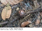 Купить «Rafflesia (Rafflesia keithii) bud growing on Liana (Tetrastigma) Sabah, Borneo.», фото № 25147023, снято 19 июля 2018 г. (c) Nature Picture Library / Фотобанк Лори