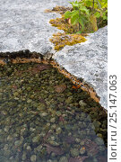 Купить «Shallow pool on an area of limestone pavement containing Freshwater grapes (Nostoc sp.), a blue-green algae or cyanobacteria. Gait Barrows National Nature Reserve, Lancashire, UK. September.», фото № 25147063, снято 17 декабря 2017 г. (c) Nature Picture Library / Фотобанк Лори