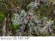 Купить «Oakmoss / stag lichen (Evernia prunastri) close up, La Brenne, France, June.», фото № 25147147, снято 20 марта 2019 г. (c) Nature Picture Library / Фотобанк Лори
