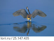 Купить «Tri-coloured heron (Egretta tricolour) catching fish in lagoon, Fort Myers Beach, Florida, USA, March.», фото № 25147435, снято 22 октября 2018 г. (c) Nature Picture Library / Фотобанк Лори