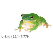 Купить «White-lipped tree frog (Litoria infrafrenata) captive, occurs in Northern Australia and New Guinea.», фото № 25147779, снято 20 июля 2019 г. (c) Nature Picture Library / Фотобанк Лори