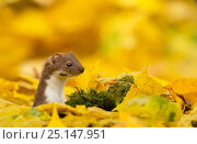 Купить «Weasel (Mustela nivalis) head and neck looking out of yellow autumn acer leaves, Sheffield, England, UK.», фото № 25147951, снято 20 августа 2018 г. (c) Nature Picture Library / Фотобанк Лори