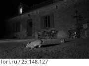 Купить «Rabbits (Oryctolagus cuniculus) in garden, taken at night with infra red remote camera trap, Mayenne, Pays de Loire, France.», фото № 25148127, снято 15 августа 2018 г. (c) Nature Picture Library / Фотобанк Лори