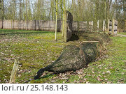 Купить «Duck decoy structure used for catching wild ducks showing catching net at the end of pipe, formed by hoops with netting flanked by reed screens, Belgium, March.», фото № 25148143, снято 13 декабря 2017 г. (c) Nature Picture Library / Фотобанк Лори