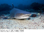 Купить «Whitetip reef shark (Triaenodon obesus) Cocos Island National Park, Costa Rica, East Pacific Ocean», фото № 25148199, снято 26 апреля 2019 г. (c) Nature Picture Library / Фотобанк Лори