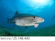 Купить «Tiger shark (Galeocerdo cuvier)with injured jaw, Northern Bahamas, Caribbean Sea, Atlantic Ocean», фото № 25148443, снято 26 марта 2019 г. (c) Nature Picture Library / Фотобанк Лори