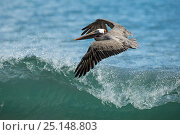 Купить «Brown pelican (Pelicanus occidentalis) in flight against cresting wave, Galapagos Islands, May.», фото № 25148803, снято 16 июля 2019 г. (c) Nature Picture Library / Фотобанк Лори