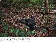 Купить «Eastern chimpanzee (Pan troglodytes schweinfurtheii) alpha male Ferdinand aged 19 years resting on the forest floor. Gombe National Park, Tanzania.», фото № 25149443, снято 20 января 2020 г. (c) Nature Picture Library / Фотобанк Лори