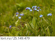 Купить «Alpine wood forget-me-not (Myosotis alpina) Vercors Regional Natural Park, France, June.», фото № 25149479, снято 17 августа 2018 г. (c) Nature Picture Library / Фотобанк Лори