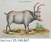Historical illustration of Reindeer by George Edwards from 1772. Стоковое фото, фотограф Paul D Stewart / Nature Picture Library / Фотобанк Лори