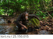 Купить «Eastern chimpanzee (Pan troglodytes schweinfurtheii) adolescent female 'Golden' aged 13 years drinking water from a stream using leaves as a sponge tool. Gombe National Park, Tanzania.», фото № 25150015, снято 22 марта 2019 г. (c) Nature Picture Library / Фотобанк Лори