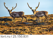 Купить «Greenland reindeer (Rangifer tarandus groenlandicus) in velvet, Kangerlussuaq, Greenland, June.», фото № 25150831, снято 24 августа 2019 г. (c) Nature Picture Library / Фотобанк Лори