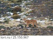 Купить «Puma (Puma concolor) in high altitude habitat, Torres del Paine National Park, Chile.», фото № 25150967, снято 26 февраля 2020 г. (c) Nature Picture Library / Фотобанк Лори