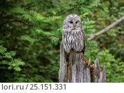 Купить «Ural owl (Strix uralensis) perched on tree stump in woodland, Bavarian Forest, Germany, May. Captive.», фото № 25151331, снято 21 ноября 2018 г. (c) Nature Picture Library / Фотобанк Лори