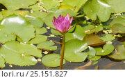 Купить «Purple pink water Nymphaea in a pond with a fountain. Water garden. Beautiful flower. Vietnam.», видеоролик № 25151827, снято 9 февраля 2017 г. (c) Mikhail Davidovich / Фотобанк Лори