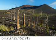 Купить «Dead wood - a consequence of a catastrophic release of ash during the eruption of the volcano in 1975 Tolbachik north breakthrough», фото № 25152915, снято 22 августа 2016 г. (c) Юлия Машкова / Фотобанк Лори