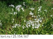 Купить «Neapolitan garlic (Allium neapolitanum) flowers, Syngrou Forest, Athens, Greece, Mediterranean, March.», фото № 25154167, снято 15 августа 2018 г. (c) Nature Picture Library / Фотобанк Лори