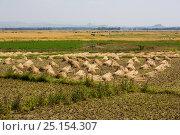 Harvest of  Nile grass (Cyperus papyrus) Fogera Plains, Lake Tana Biosphere Reserve, Ethiopia. December 2013. Стоковое фото, фотограф Bruno D'Amicis / Nature Picture Library / Фотобанк Лори