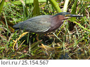 Купить «Green heron (Butorides virescens) fishing in reeds, Shark Valley, Everglades National Park, Florida, USA, March.», фото № 25154567, снято 12 июля 2020 г. (c) Nature Picture Library / Фотобанк Лори
