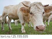 Купить «Cattle on  Santa Maria Island, Azores, Portugal, Atlantic Ocean», фото № 25155035, снято 24 апреля 2019 г. (c) Nature Picture Library / Фотобанк Лори
