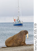 Купить «Walrus (Odobenus rosmarus) hauled out in shallow water, Spitsbergen, Svalbard Archipelago, Norway, Arctic Ocean. July.», фото № 25155119, снято 18 февраля 2019 г. (c) Nature Picture Library / Фотобанк Лори