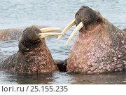 Купить «Walruses (Odobenus rosmarus) male and female,  hauled out in shallow water, Spitsbergen, Svalbard Archipelago, Norway, Arctic Ocean. July.», фото № 25155235, снято 17 февраля 2020 г. (c) Nature Picture Library / Фотобанк Лори