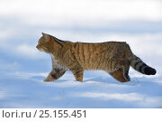 Wild cat (Felis silvestris) in snow, Vosges, France, February. Стоковое фото, фотограф Fabrice Cahez / Nature Picture Library / Фотобанк Лори