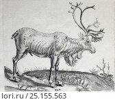 Купить «Historical illustration of Reindeer from the 1600s.», фото № 25155563, снято 24 августа 2019 г. (c) Nature Picture Library / Фотобанк Лори