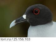 Купить «Swallow-tailed gull (Larus furcatus) close up portrait,  Galapagos. Endemic.», фото № 25156103, снято 19 июля 2019 г. (c) Nature Picture Library / Фотобанк Лори