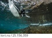 Купить «Galapagos Penguin (Spheniscus mendiculus) underwater, Galapagos. Endemic.», фото № 25156359, снято 19 июня 2019 г. (c) Nature Picture Library / Фотобанк Лори