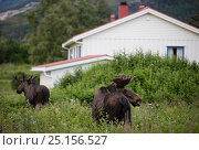 Купить «European moose (Alces alces) bulls walking past houses, Nordland, Norway. July.», фото № 25156527, снято 16 августа 2018 г. (c) Nature Picture Library / Фотобанк Лори