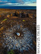 Nazca booby (Sula granti) on nest in volcanic landscape Espaniola, Galapagos. Стоковое фото, фотограф Andy Rouse / Nature Picture Library / Фотобанк Лори