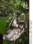 Brown throated three-toed sloth (Bradypus variegatus) climbing,  Pacaya-Samiria National Reserve, Amazon, Peru. Стоковое фото, фотограф Cyril Ruoso / Nature Picture Library / Фотобанк Лори