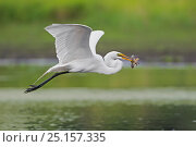Купить «Great egret (Ardea alba) in flight above river, with fish prey, Myakka River State Park, Florida, USA, March.», фото № 25157335, снято 17 июня 2019 г. (c) Nature Picture Library / Фотобанк Лори