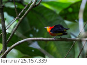 Купить «Band-tailed manakins (Pipra fasciicauda) male perched, Panguana Reserve, Huanuca province, Amazon basin, Peru.», фото № 25157339, снято 26 марта 2019 г. (c) Nature Picture Library / Фотобанк Лори