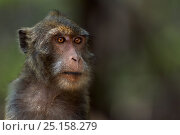 Long-tailed macaque (Macaca fascicularis) female portrait. Khao Sam Roi Yot National Park, Thailand. March 2015. Стоковое фото, фотограф Anup Shah / Nature Picture Library / Фотобанк Лори