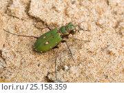 Green tiger beetle (Cicindela campestris) North Derbyshire, England, UK, April. Стоковое фото, фотограф Chris Mattison / Nature Picture Library / Фотобанк Лори