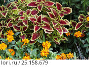 Купить «Variegated leaves of Coleus plant (Plectranthus scutellarioides)  and Marigold (Tagetes sp) flowers in a botanical garden, Var, France, Provence, July.», фото № 25158679, снято 16 августа 2018 г. (c) Nature Picture Library / Фотобанк Лори