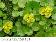 Купить «Alternate-leaved golden saxifrage (Chrysosplenium alternifolium). Peak District National Park, Derbyshire, UK. March.», фото № 25159131, снято 18 октября 2018 г. (c) Nature Picture Library / Фотобанк Лори