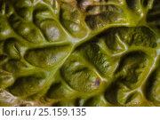 Tree Lungwort (Lobaria pulmonaria) lichen close up, Kyle of Lochalsh, Scotland. March. Стоковое фото, фотограф Alex Hyde / Nature Picture Library / Фотобанк Лори