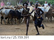 Купить «Naked Hamer boy ready to leap across line of bulls, as part of the Jumping of the Bulls ceremony which marks the transition into manhood. Ethiopia, November 2014», фото № 25159391, снято 17 августа 2018 г. (c) Nature Picture Library / Фотобанк Лори