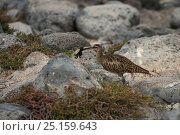 Купить «Whimbrel (Numenius phaeopus hudsonicus) with crab prey, Galapagos.», фото № 25159643, снято 22 апреля 2019 г. (c) Nature Picture Library / Фотобанк Лори