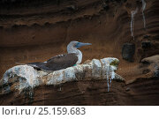 Купить «Blue-footed booby (Sula nebouxii excisa) profile, Galapagos.», фото № 25159683, снято 25 апреля 2019 г. (c) Nature Picture Library / Фотобанк Лори