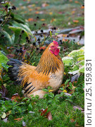 Купить «Buff brahma bantam (gold and black) rooster in green vegetation, Higganum, Connecticut, USA.», фото № 25159831, снято 22 апреля 2019 г. (c) Nature Picture Library / Фотобанк Лори