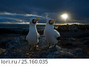Купить «Nazca booby (Sula granti) courtship at sunset with dark clouds, Punta Suarez, Espaniola, Galapagos.», фото № 25160035, снято 16 августа 2018 г. (c) Nature Picture Library / Фотобанк Лори