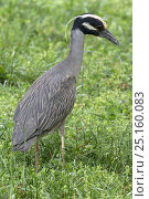 Купить «Yellow-crowned night heron (Nyctanassa violacea, formerly placed in the genus Nycticorax), Washington DC, USA, May.», фото № 25160083, снято 27 января 2020 г. (c) Nature Picture Library / Фотобанк Лори